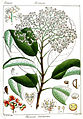 Photinia notoniana Rungiah.jpg