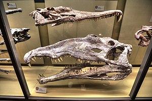 Machaeroprosopus - Skulls in New Mexico
