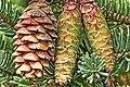 Picea glauca cones.jpg