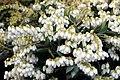 Pieris japonica var. yakushimanum Cavatine 5zz.jpg