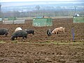 Pig Farming, Cold Kirby Lane - geograph.org.uk - 117362.jpg