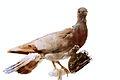 Pigeon IMG 2903.JPG