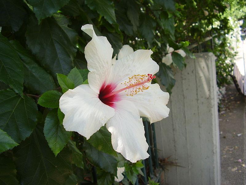 היביסקוס סיני לבן-אדום