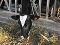 PikiWiki Israel 2141 Cows in a kibbutz Israel פרה ברפת.jpg
