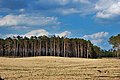 Pine forest on sand dunes.jpg
