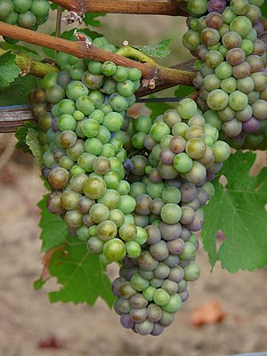 Ripeness in viticulture - Pinot noir grapes in the early stages of veraison. As the grapes ripen, the concentration of phenolic compounds like anthocyanins replaces the green color of chlorophyll in the grape berries which makes them black instead.