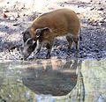 Pinselohrschwein Potamochoerus porcus Tierpark Hellabrunn-1.jpg