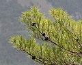 Pinus brutia, Findikli 6.jpg
