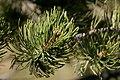 Pinus edulis - Flickr - aspidoscelis.jpg