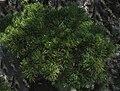 Pinus mugo p2.jpg