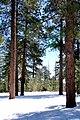 Pinus ponderosa StrawberryAZ.jpg