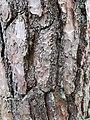 Pinus sylvestris bark Grütweg.jpg