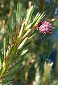 Pinus sylvestris conelet Bamburgh.jpg