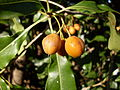 Pittosporum fruit (3371943157).jpg