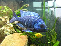Placidochromis phenochilus.jpg