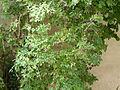 Plante arbustive 9 août 2015.JPG