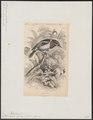 Platysteira cyanea - 1838 - Print - Iconographia Zoologica - Special Collections University of Amsterdam - UBA01 IZ16500109.tif