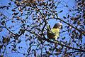 Plum-headed Parakeet (Psittacula cyanocephala) female (20811165315).jpg