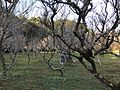 Plum trees in Tsunashiki Temman Shrine 5.jpg