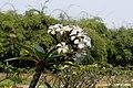 Plumeria rubra 2855.jpg