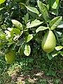Pohon jeruk1.jpg