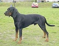 PolishScenthound-ChPl-NEMROD-KlusujacaSfora-wl.GrzegorzWeron.jpg