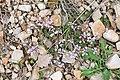 Polygala calcarea in Aveyron (23).jpg