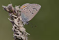 Polyommatus bellis 01.jpg