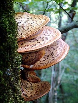 Cerioporus squamosus - Image: Polyporus squamosus 01