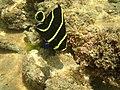 Pomacanthus paru - Praia do Paiva.jpg
