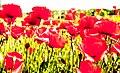 Poppy Red Nitty Gritty (151118023).jpeg