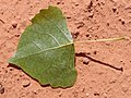 Populus fremontii spring leaf lower.jpg