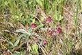 Potentilla palustris, Drugeon - img 18374.jpg