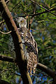 Powerful Owl (Ninox strenua) (8460158403).jpg