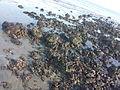 Praia do Coqueiro - Luis Correia, Piauí, Brasil - corais.jpg