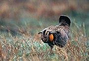 Greater Prairie Chicken(Photo by South Dakota Tourism)