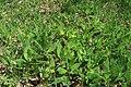 Primula veris in natural monument Kalamandra in spring 2012 (4).JPG
