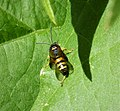 Probably Lestiphorus (Gorytes) laticinctus (36544964772).jpg