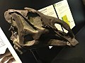 Probrachylophosaurus.jpg