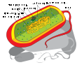 Prokaryote cell diagram sr.svg