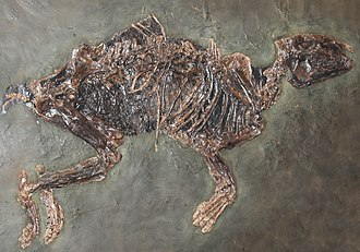 Propalaeotherium - Fossil in Vienna.