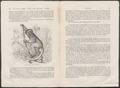 Propithecus diadema - 1700-1880 - Print - Iconographia Zoologica - Special Collections University of Amsterdam - UBA01 IZ19700173.tif