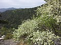Prunus mahaleb sl16.jpg