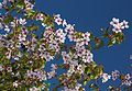 Prunus nipponica (Mount Haku).JPG