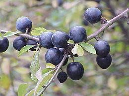 Prunus spinosa2.jpg