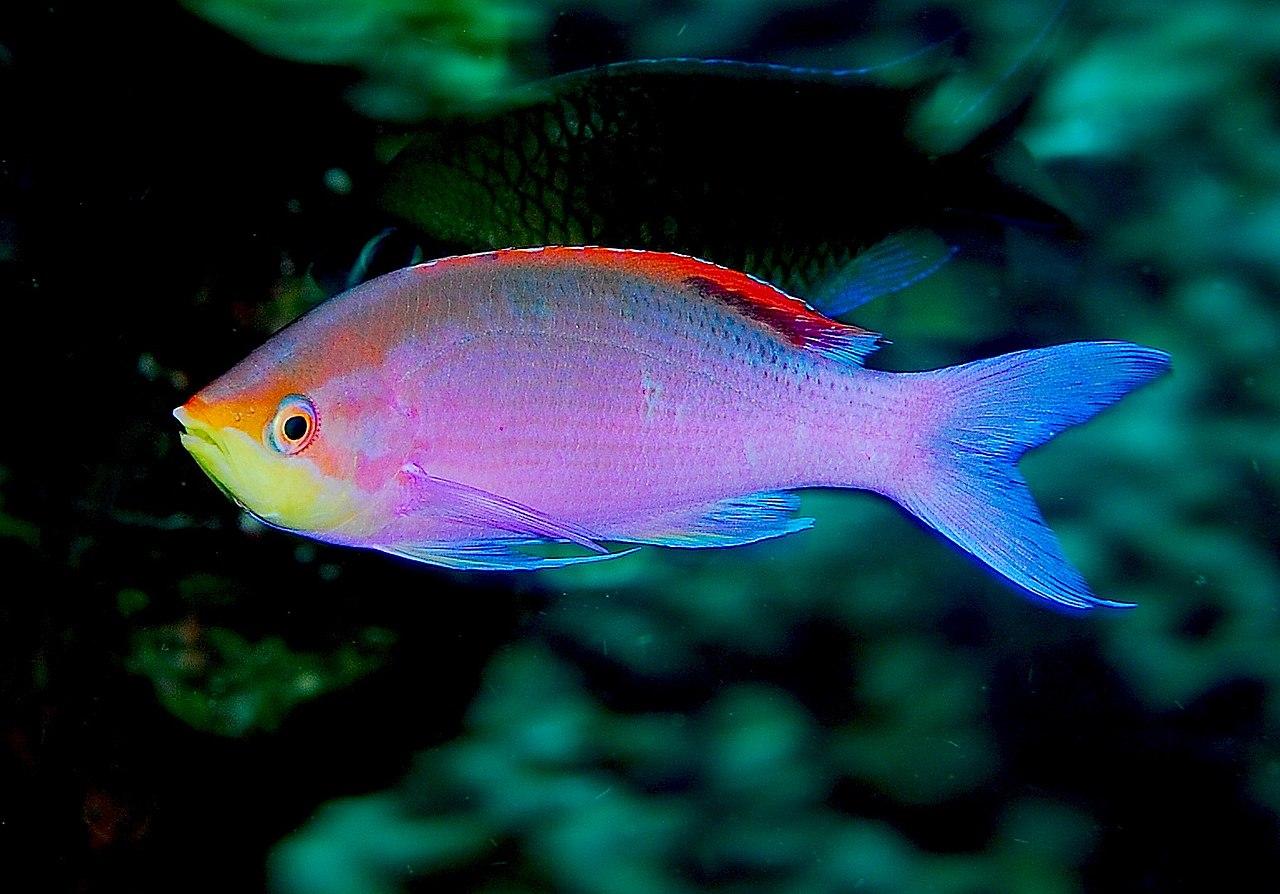 Lacquer slacker liz elevation polish purple queen anthias for Purple saltwater fish