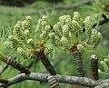 Pseudolarix amabilis pollen cones.jpg