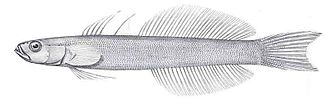 Gudgeon (fish) - Image: Ptereleotris microlepis