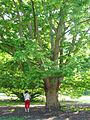 Pterocarya ×rehderiana JPG1.jpg