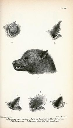 Pteropus.jpg